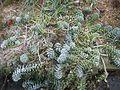 Euphorbia myrsinites (16147643401).jpg