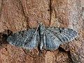 Eupithecia indigata - Ochreous pug - Цветочная пяденица сосновая (40902512222).jpg