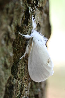 Yellow-tail Species of moth
