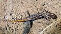 Euproctus montanus larva.jpg