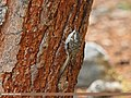 Eurasian Treecreeper (Certhia familiaris) (15708305808).jpg