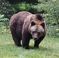 Europaeischer Braunbaer Ursus arctos arctos Tierpark Hellabrunn-1.jpg