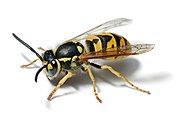 European wasp white bg.jpg