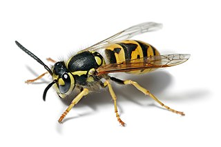 Yellowjacket Predatory wasps of the genera Vespula and Dolichovespula