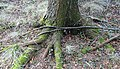 Exposed roots of Betula pubescens. Fairlie Crevoch Wood, North Ayrshire.jpg