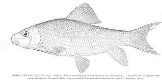 V-lip redhorse - Image: FMIB 34276 Moxostoma papillosum (Cope) Sucker White mullet (Ga) White sucker (Ga) Shiner (Ga)