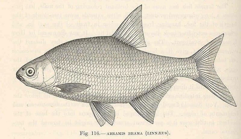 File:FMIB 48084 Abramis brama (Linnaeus).jpeg