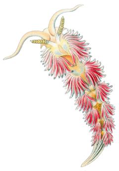 Facelina auriculata