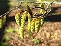 Fagales - Corylus avellana - 9.jpg