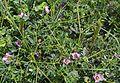 Fagonia cretica Ruderal nahe Katakomben Sousse 2009 1.jpg