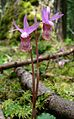 Fairy Slipper (8539569755).jpg