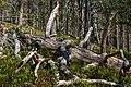 Fallen and dry pinetree at Kivitunturi, Savukoski, Lapland, Finland, 2021 June.jpg