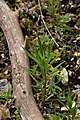 Fallopia convolvulus in Jardin Botanique de l'Aubrac 01.jpg