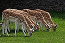 Fallow deer, Dyrham - geograph.org.uk - 1346340.jpg