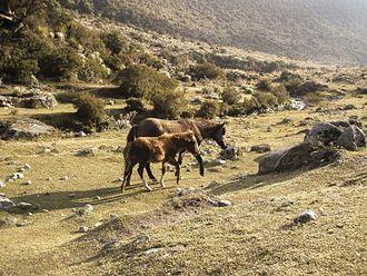 Cordillera de Merida páramo - Horses in the Sierra La Culata National Park