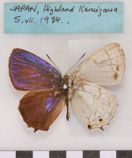 <i>Favonius</i> (butterfly) Butterfly genus in family Lycaenidae