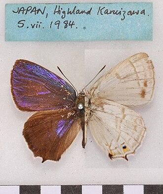 Favonius (butterfly) - Favonius saphirinus