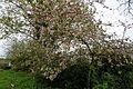 Feeringbury Manor flowering prunus, Feering Essex England 01.jpg