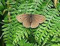 Female Ringlet butterfly at Hurcott Wood - geograph.org.uk - 898944.jpg