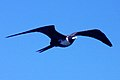 Female magnificent frigatebird.JPG