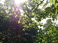Ficus arnottiana (16283881452).jpg