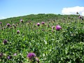 Field of thistle. MORE INFO IN PANORAMIO-DESCRIPTION - panoramio.jpg