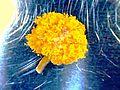 Fiore di mimosa ( acacia dealbata) 50x.jpg