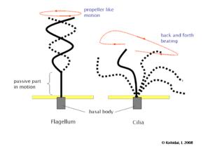 external image 300px-Flagellum-beating.png