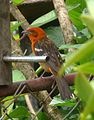 Flame-colored Tanager. Male. Piranga bidentata - Flickr - gailhampshire.jpg