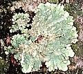 Flavoparmelia caperata-3.jpg
