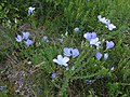 Flax from Ostritsa (7).jpg