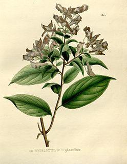 <i>Calyptrion</i> Genus of flowering plants in Eudicot family Violaceae