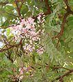Flickr - João de Deus Medeiros - Pterodon pubescens (1).jpg