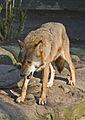 Flickr - Laenulfean - wolf (1).jpg