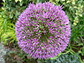 Flickr - brewbooks - Purple Allium - our garden.jpg