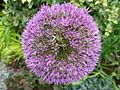 Flickr - brewbooks - Purple Allium - our garden.jpg