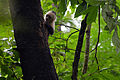 Flickr - ggallice - White-throated capuchin monkey.jpg