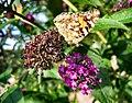 Flickr - ronsaunders47 - BUTTERFLY BEAUTY 4.jpg