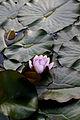 Flower, Water Lily - Flickr - nekonomania (5).jpg