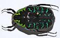 Flower Beetle (Euchroea coelestis) (8435554143).jpg
