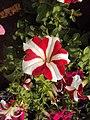 Flowers - Uncategorised Garden plants 33.JPG