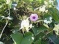 Flowers of Cuba 02.JPG