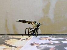 Fly feeding on fly 02.jpg