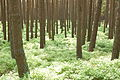 Forêt vosgienne près d'Obernai (Bas-Rhin).jpg