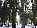 Forest between Langenthal and St. Urban, Zankhölzli - panoramio.jpg