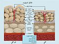 Formation of Cellulite-ar.jpg