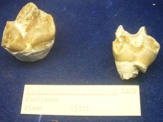 Chalicotherium - Teeth of C. goldfussi