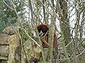 Fota Wildlife Park - Red Panda - panoramio (1).jpg