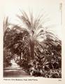 Fotografi från botaniska trädgården i Palermo 1888 cirka - Hallwylska museet - 104062.tif