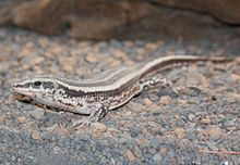 Four-lined Plated Lizard 079.jpg